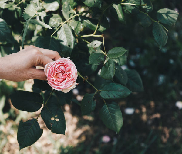 Beauty In Nature Close-up Finger Flower Flower Head Flowering Plant Focus On Foreground Fragility Freshness Growth Hand Inflorescence Leaf Nature One Person Outdoors Petal Pink Color Plant Plant Part Rosé Rose - Flower Vulnerability
