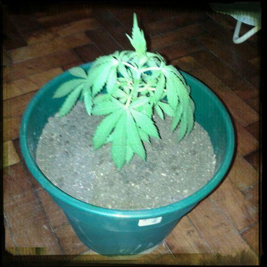 Crecer Ganja Cannabis
