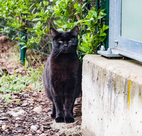 Cat Domestic Cat Domestic Pets Feline Domestic Animals Mammal Animal Themes One Animal Animal Vertebrate Day No People Plant Sitting Black Color Nature Looking Outdoors Portrait Whisker