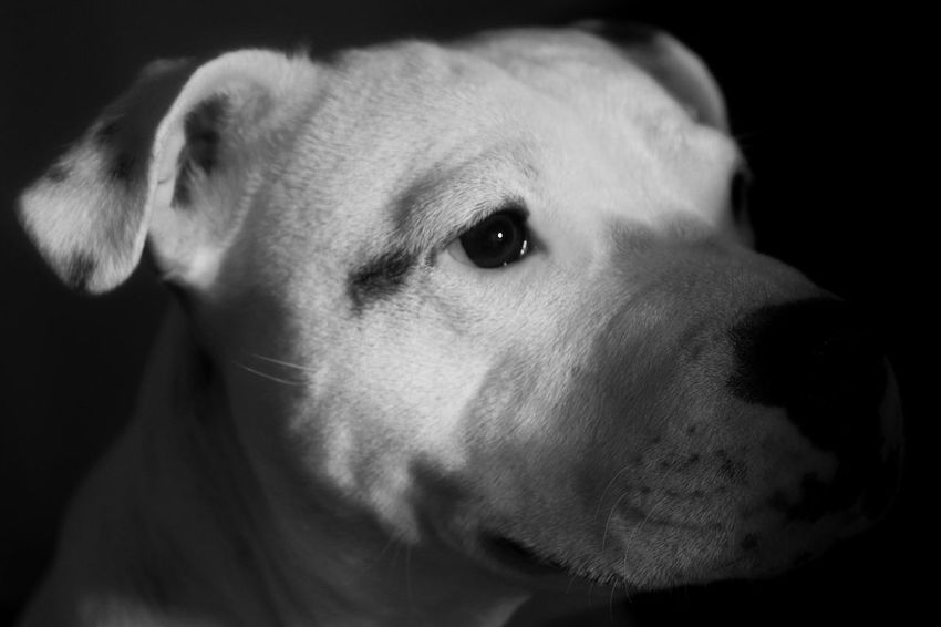Animal Head  Animal Themes Beagle Black Background Close-up Day Dog Domestic Animals Indoors  Mammal No People One Animal Pets Portrait Staffie Staffy Stafordshire Bull Terrier