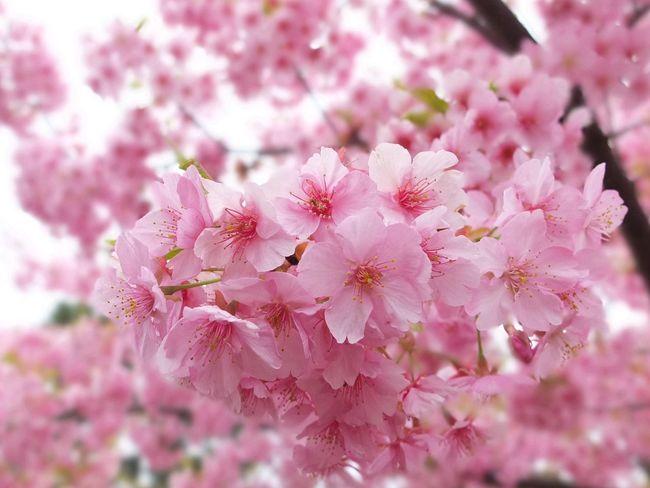 満開 Sakura 桜 Tokyo,Japan Fujifilm X10