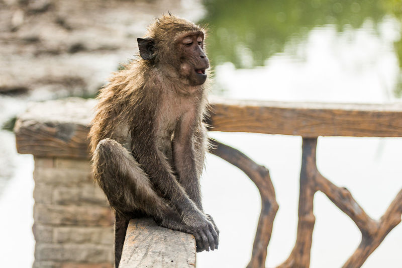 Long-tailed macaque sitting on railing in zoo