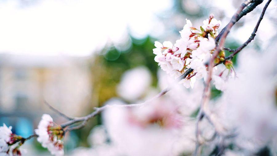 Close-up of white cherry blossom tree