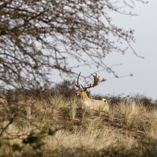 Stag on a Dune Animals In The Wild Grass Nature Animal Themes Field One Animal Day Outdoors No People Animal Wildlife Beauty In Nature Plant Tree Sky Mammal