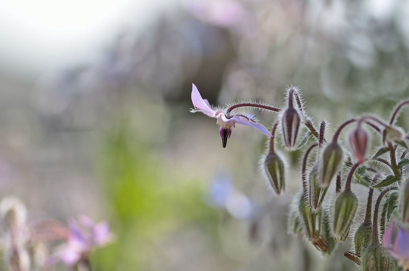 Close-up of borage flower growing outdoors