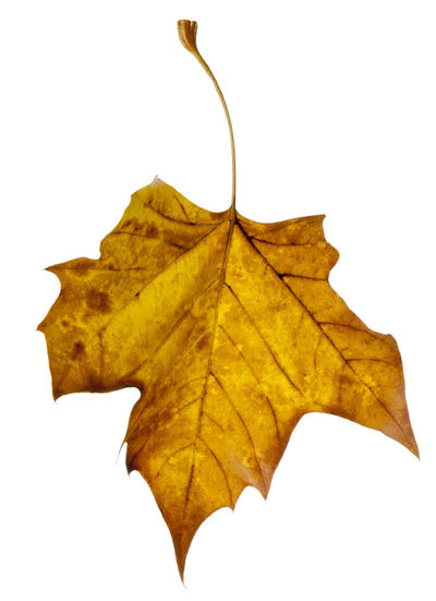 Autumn leaves isolated against a white background. Autumn Collection Autumn Colors Autumn Leaves Fall Colors Nature Autumn Change Close-up Cut Out Cut Out On White Dry Fall Leaves Isolated On White Leaf Leaves Leaves_collection Nature Nature_collection Studio Shot White Background White Backround Yellow