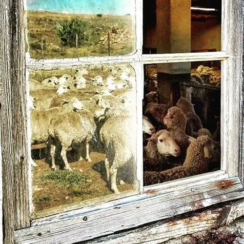 Inside or outside? Shearing time Karoo. Merinos Merino Merinowool Karoolife Karoo Farmlife Farming Shearingshed Sheepshearing Shearingtime Art Karooheartland Reflections Reflections