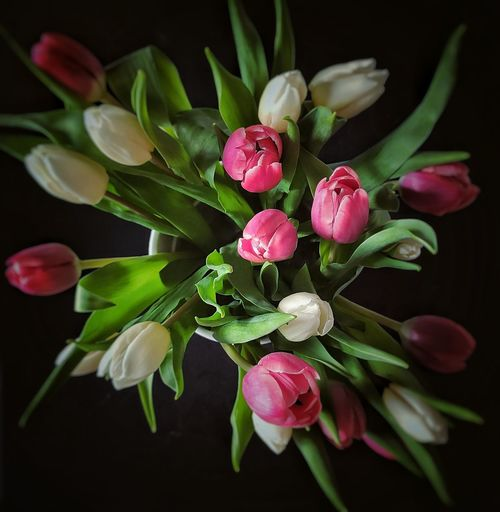 High angle view of pink tulips