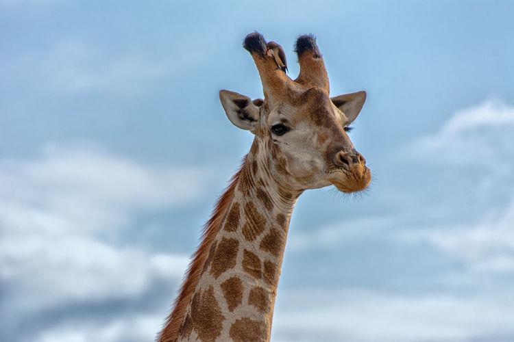 Portrait of giraffe against sky