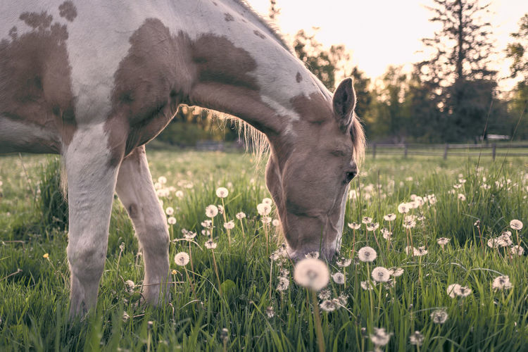 Horse at sunset Animal Animal Head  Animal Themes Animal Wildlife Day Domestic Domestic Animals Field Grass Grazing Growth Herbivorous Horse Land Livestock Mammal Nature No People One Animal Outdoors Pets Plant Vertebrate