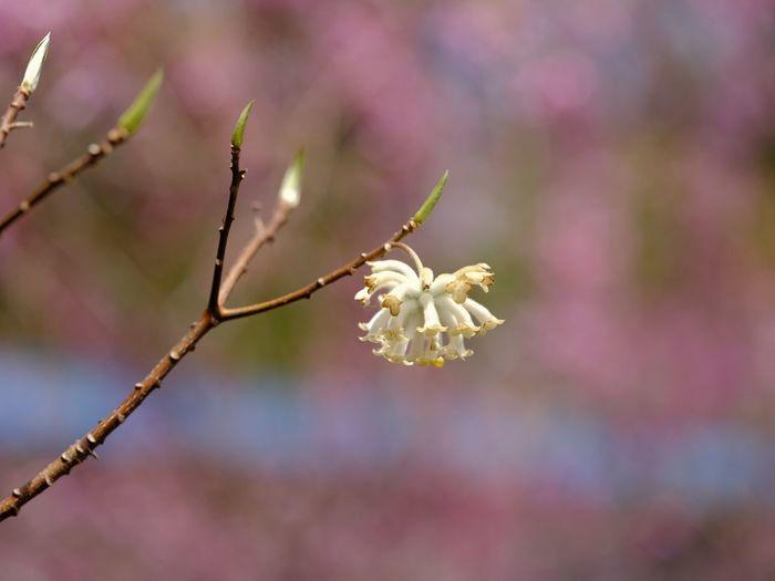 ミツマタ Oriental Paperbush Plant Focus On Foreground Beauty In Nature Close-up Flower Growth Flowering Plant Nature Selective Focus Pink Color Springtime