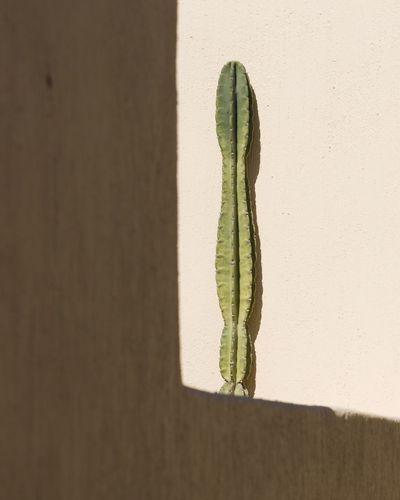 Growth No People Day Nature Plant Cactus Outdoors Close-up EyeEmNewHere Santorini Santorini, Greece