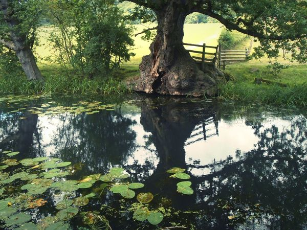 ... Stillness ... Reflection Tree Nature Water Growth Outdoors Wales Trees Canal Welshpool Summer Old Tree Lush Fairytale  отражение дерево вода лето зелень  Countryside Green No People Reflection Lake Beauty In Nature