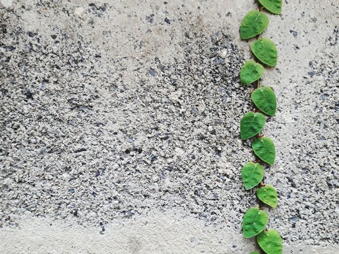 creeper plants on the wall Leaf Backgrounds Textured  Full Frame Close-up Plant Creeper FootPrint Young Plant Ivy Sandy Beach Animal Track Growing Paw Print Overgrown Creeper Plant Soil Leaf Vein Ground Toadstool Stem Track - Imprint Vine LINE Blooming Fungus Cracked Plant Life