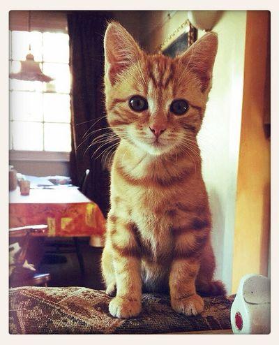baby Rufus Ginger Kitten Cat Cute