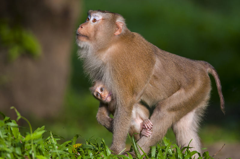 Monkey Ape Grass Tail Madagascar  Squirrel Animal Hair Tail Fin Baboon Hairy  Female Animal Monkey