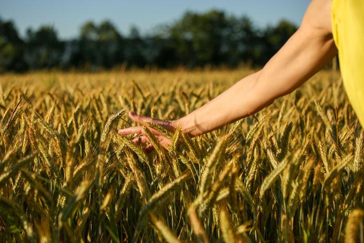 Close-up of hand touching wheat field