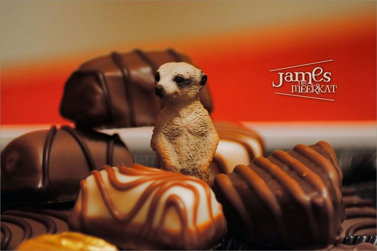 He love chocolates. ? James The Meerkat Meerkat Chocolate Food Macro Red Streamzoofamily Sweets Eye4photography  Schleich
