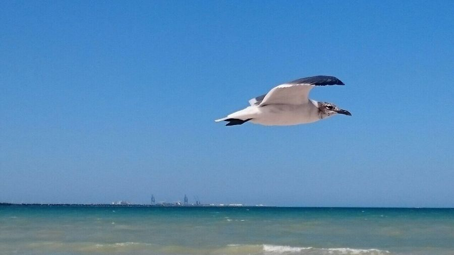 Bird Sea Flying Blue Clear Sky Animal Themes Nature Water One Animal Spread Wings Beauty In Nature Sky Outdoors Scenics Animal Wildlife Horizon Over Water Full Length Black-headed Gull Day Flying Home Flying Birds Flying Over Your Imagination Flying In The Sky Flying High Flying Bird