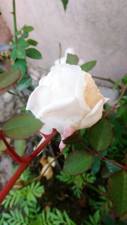 Flowrrs And Plants Flowers Flower White Flower Rosé White Rose Nature Leaf Plant Growth No People Close-up Day