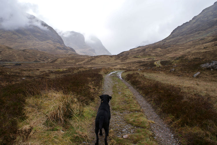A black labradour dog looks walking in the caringorms, as the mountains tower in the distance ahead.