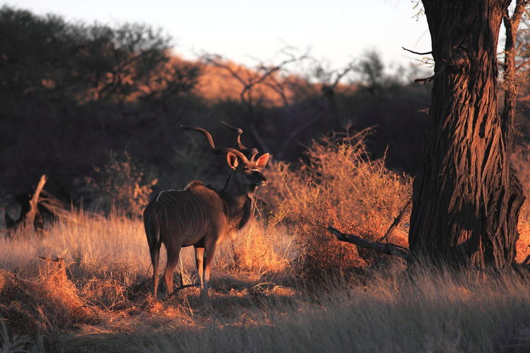 Kudu Standing On Field In Forest