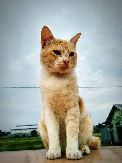 capture cam Xiaomi Mi5 Portrait Domestic Cat Looking At Camera Ginger Cat Kitten Big Cat First Eyeem Photo