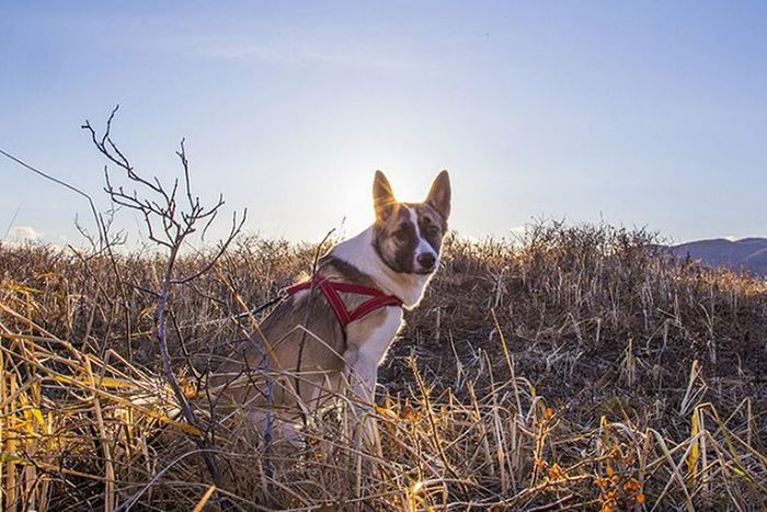 Моя барабака Yanka_partisanka Ненси лайка собака осень камчатка