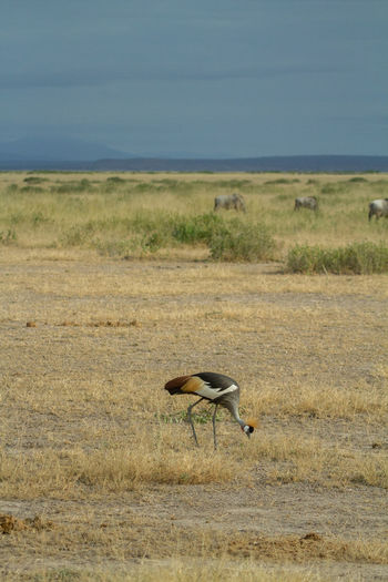 Grey crowned crane bird eating bugs in an arid field