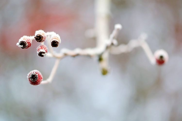 frozen world Focus On Foreground Frozen Nature Frozen Nature Photography Beauty In Nature Macro Photography Macro Beauty Frosty Mornings Frost Cold Temperature Reinheimer Teich My Point Of View Red Color Fruit Cold Temperature Close-up Winter Cold Weather Condition Ice Crystal Fragility