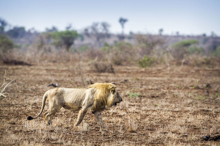 Side view of lion walking on land