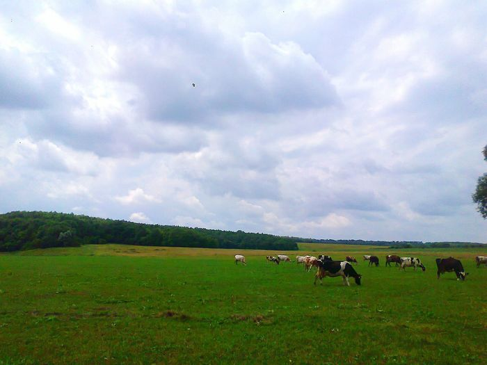 каровы🐂 Animal Themes Animal Grass Large Group Of Animals Agriculture Cloud - Sky Grazing