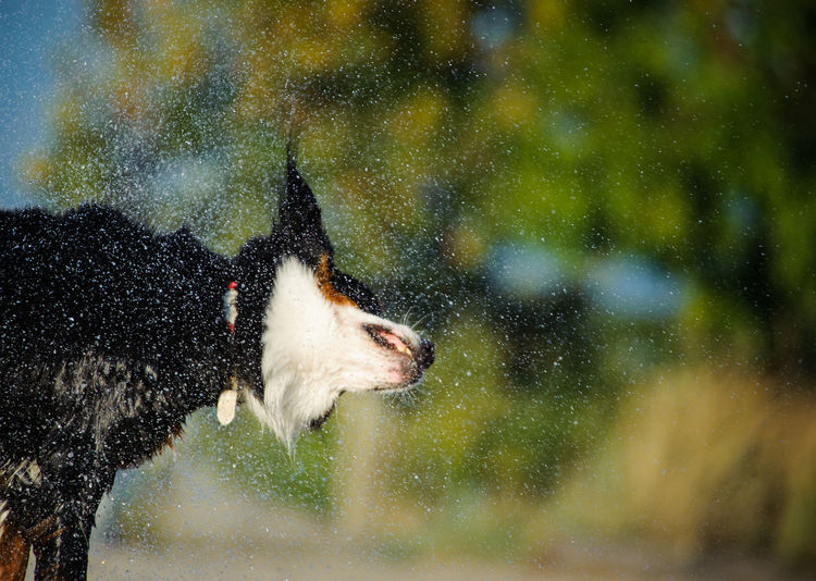Close-up of dog shaking of water