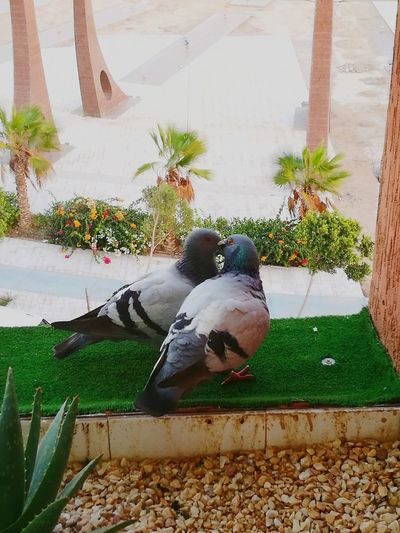 Pigeon Birds Kisses Kiss Me Baby ❤ Kisses ♥ Kisses ♡ Laayoune Laayounemorocco