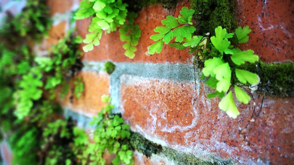 Fern and moss growing out of a brick wall Brick Brick Wall Bright Colors Close-up Fern Fresh Freshness Freshness Green Green Color Grout Growing Growth Leaf Moss No People Orange Color Plant Spring Springtime Weathered Weathered Wall
