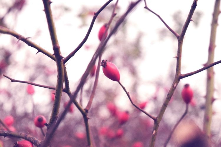 Outdoors Freshness Beauty In Nature Fragility Bokeh Cold Temperature It Is Cold Outside November2016 A Walk In The Park Autumn 2016 Herrenkrugpark Evening Light Showcase November Good Bye Autumn Scenics Autumn🍁🍁🍁 Beauty In Nature Hagebutten Red The Places I've Been And The Things I've Seen