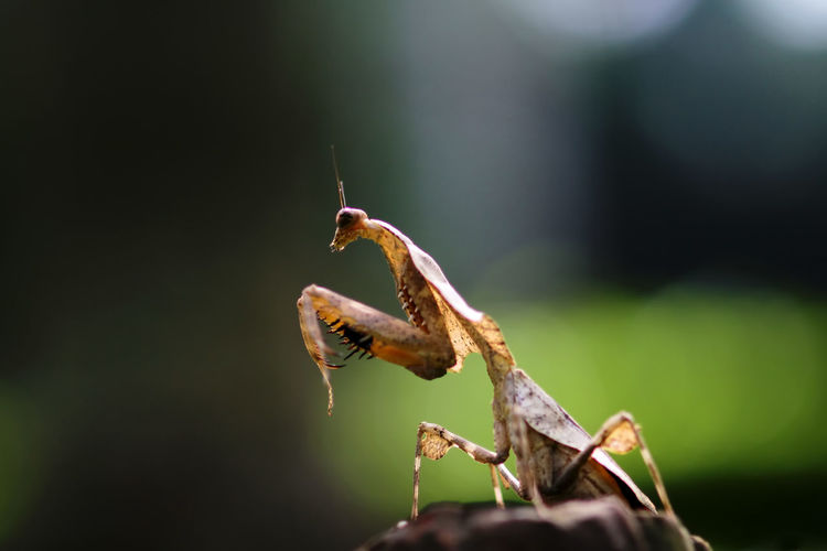 Mantis orchid on wild grass Close-up Animal Wildlife Animal Animal Themes Invertebrate Animals In The Wild Plant No People Focus On Foreground Insect One Animal Selective Focus Nature Day Growth Beauty In Nature Praying Mantis Outdoors Plant Part Leaf