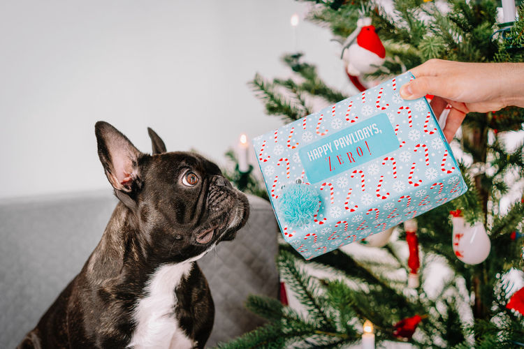 Close-up of a hand giving christmas present to french bulldog