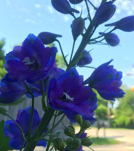 Flowers Flower Collection Delphiniums Blue & Purple