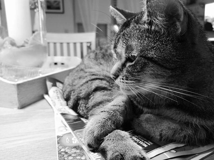 Lilli Eyemphotography Eyem Best Shots Bnw_friday_eyeemchallenge Bnwphotography Blackandwhite Pets Domestic Cat Feline Portrait Sitting Close-up Undomesticated Cat Cat Family Lion Tiger Whisker