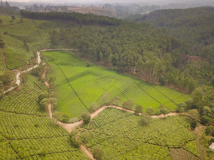 Tea Plantation Indonesia Bandung West Java  INDONESIA Pengalengan Agriculture Landscape Environment Green Color Rural Scene Farm Growth Scenics - Nature Land Crop  Plant Field Beauty In Nature Tranquility Nature High Angle View Tranquil Scene No People Day Plantation