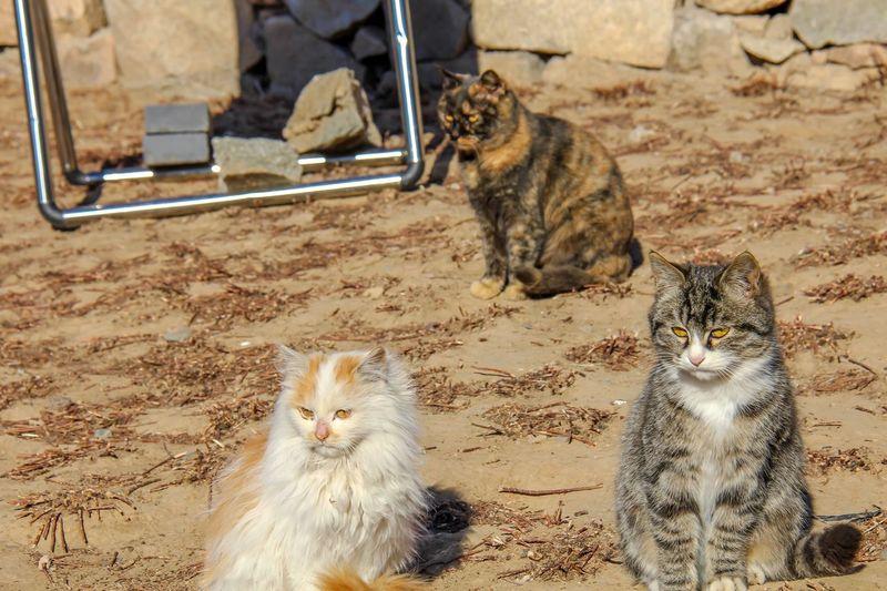 Felines Pets