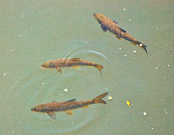 River Fish BARBEL FISHING Animal Themes Animals In The Wild Day Fish High Angle View Nature No People One Animal Outdoors Sea Life Swimming UnderSea Water
