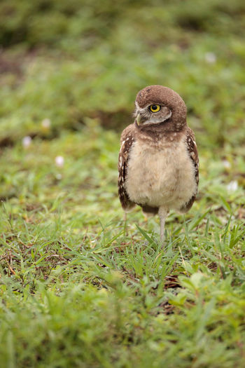 Baby Burrowing owl Athene cunicularia perched outside its burrow on Marco Island, Florida Athene Cunicularia Baby Breeding Burrowing Owl Fuzzy Nature Animal Wildlife Animals In The Wild Bird Birds Burrow Cute Fledgling Florida Hatchling Juvenile Birds Marco Island Nature No People One Animal Owl Owlet Small Owl Spring Young Adult