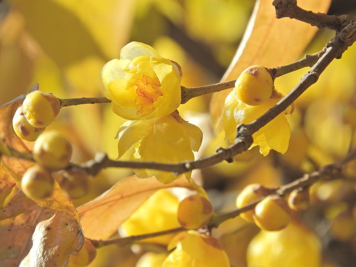Fragrance Of Flowers Japanese Plum Blossoms Beauty In Nature Close-up Day Flower Focus On Foreground Fragility Freshness Fruit Growth Nature No People Outdoors Plant Yellow