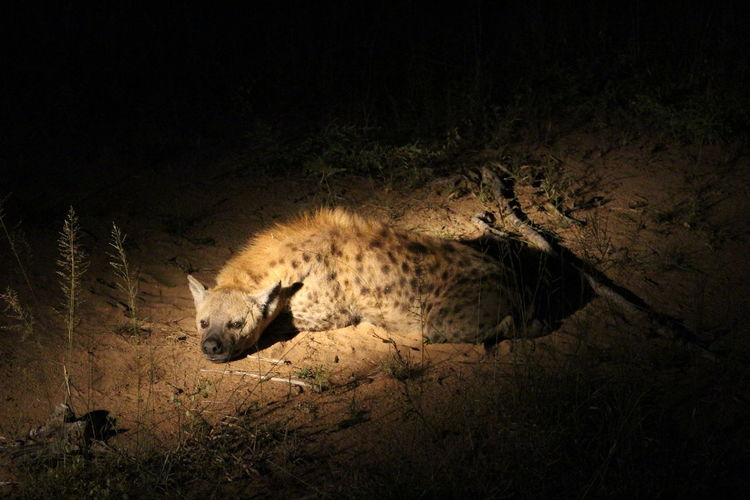 Hyena relaxing on field at kruger national park