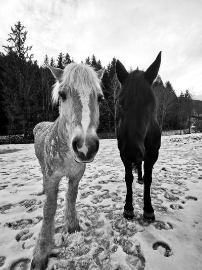 Portrait of horse standing on field in winter