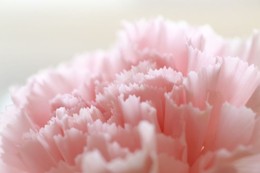 Pink Color Flower Close-up Nature Beauty In Nature EOS 6D