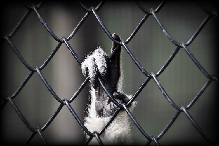 Close-up of monkey holding chainlink fence at zoo