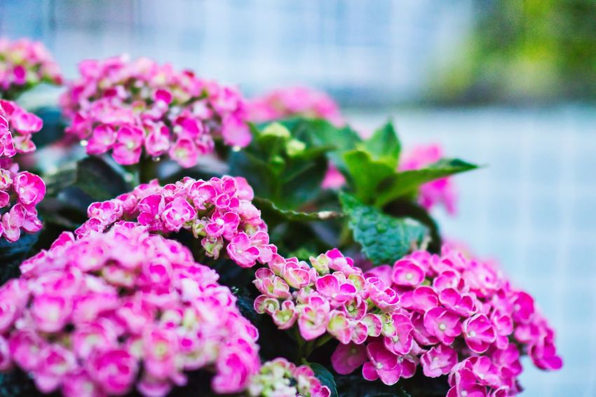 Flowers on my roof terrace Canon Roof Terrace Flower Pink Color Plant Flowering Plant Freshness Growth Beauty In Nature Nature